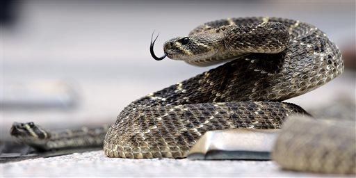 Rattlesnake_93665