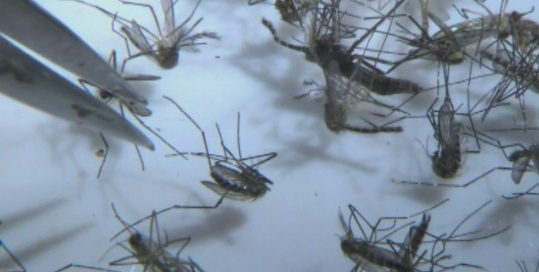 Mosquito samples being tested for diseases