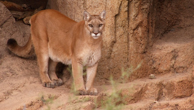 Eastern cougar extinct_134113