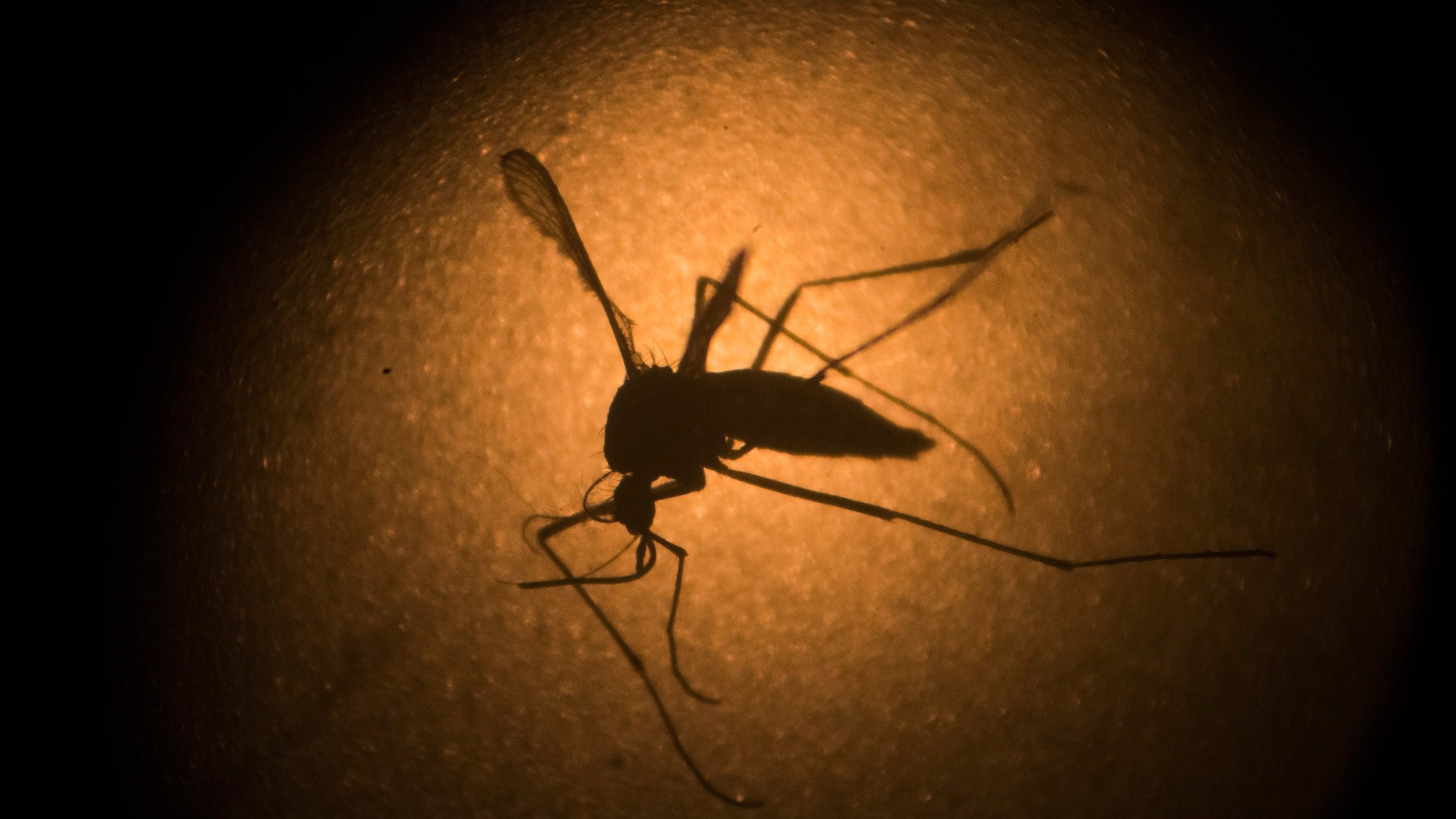 An Aedes aegypti mosquito is photographed through a microscope at the Fiocruz institute in Recife, Pernambuco state, Brazil, Wednesday, Jan. 27_238449