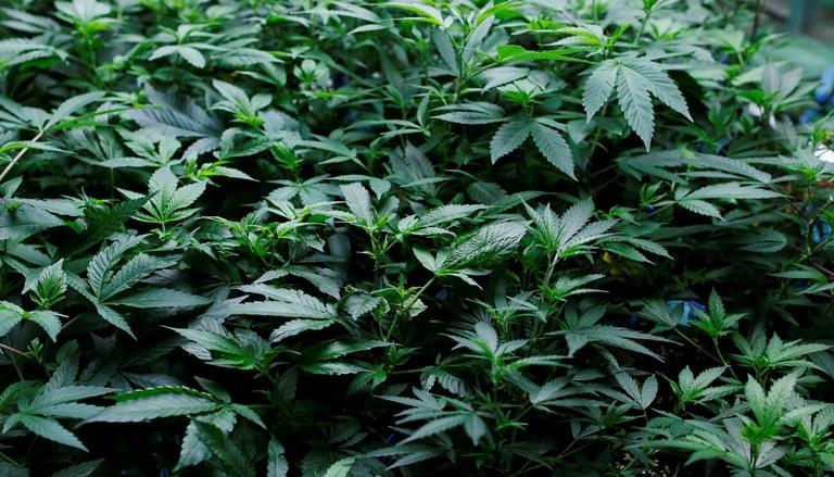 Marijuana, Pot Plant_119586