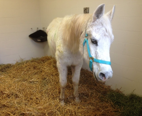Lily, a 20-year-old Arabian_Appaloosa-mix, was abandoned at the New Holland Sales Stable on March 14. Authorities said the horse was underweigh_264706