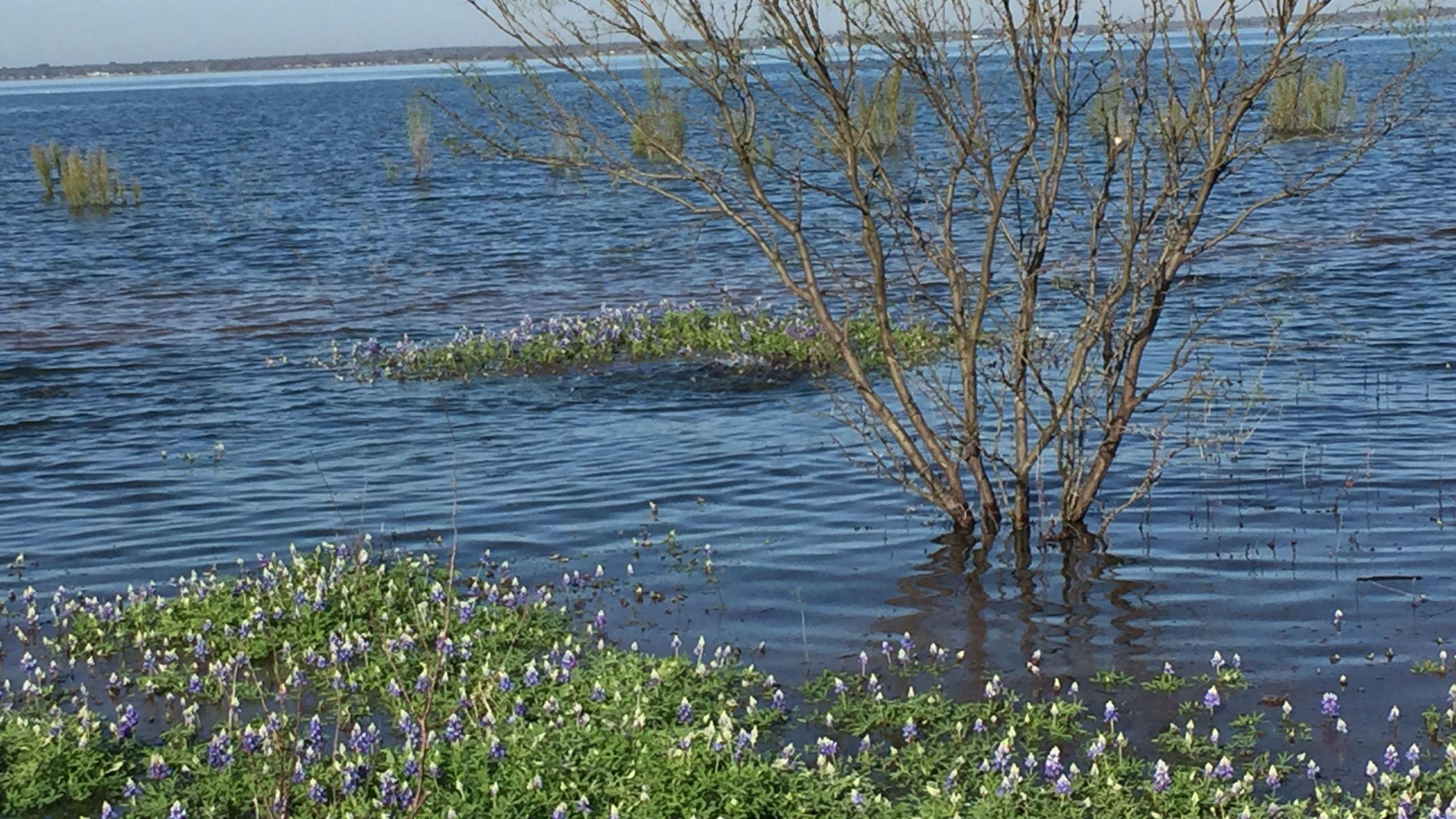 Bluebonnets on Lake Buchanan_257829