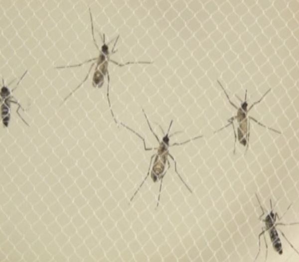 mosquitos with the Zika virus_237696