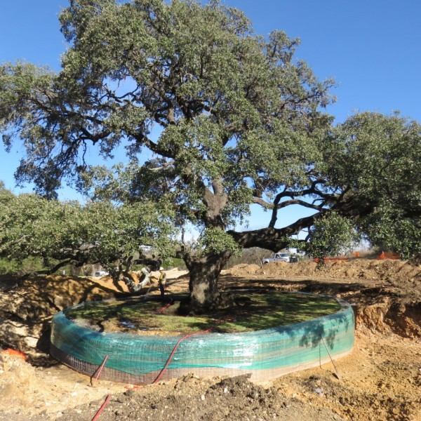 Heritage tree in Buda to be moved the week of Jan. 23, 2017_398914