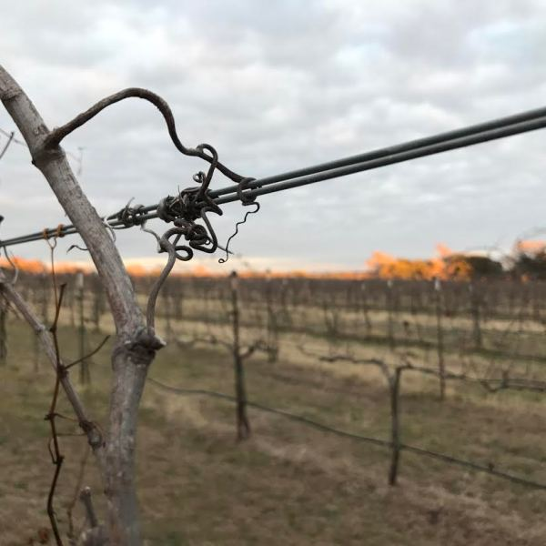 Winegrowers across Texas are worried about an herbicide the EPA is looking to approve for use in the state_395512