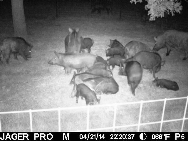 Hog wild: U.S. and Texas have 'out of control' population of 'super-pigs,' expert says
