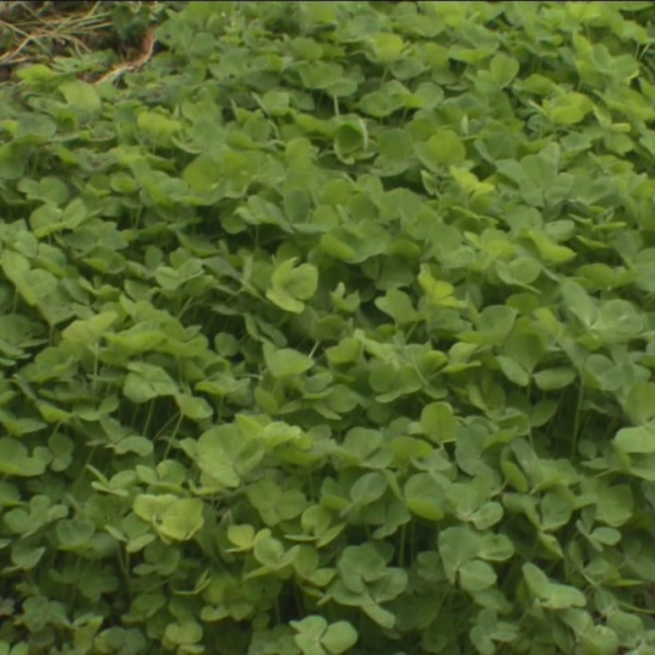Weekend Gardener: How to maintain cover crops