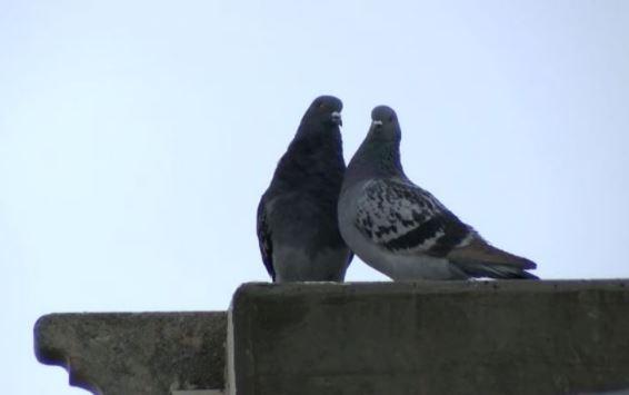 Pigeons at Texas Tech_445492