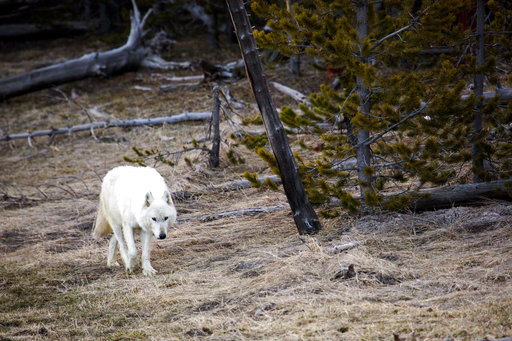 Yellowstone White Wolf_471444