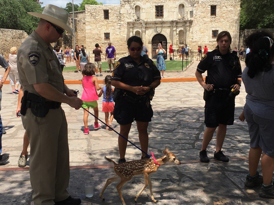 A leashed fawn seized at the Alamo on June 30, 2017_515704