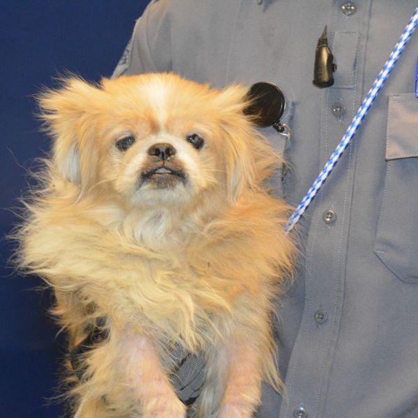 Austin Humane Society Pekingese_502664