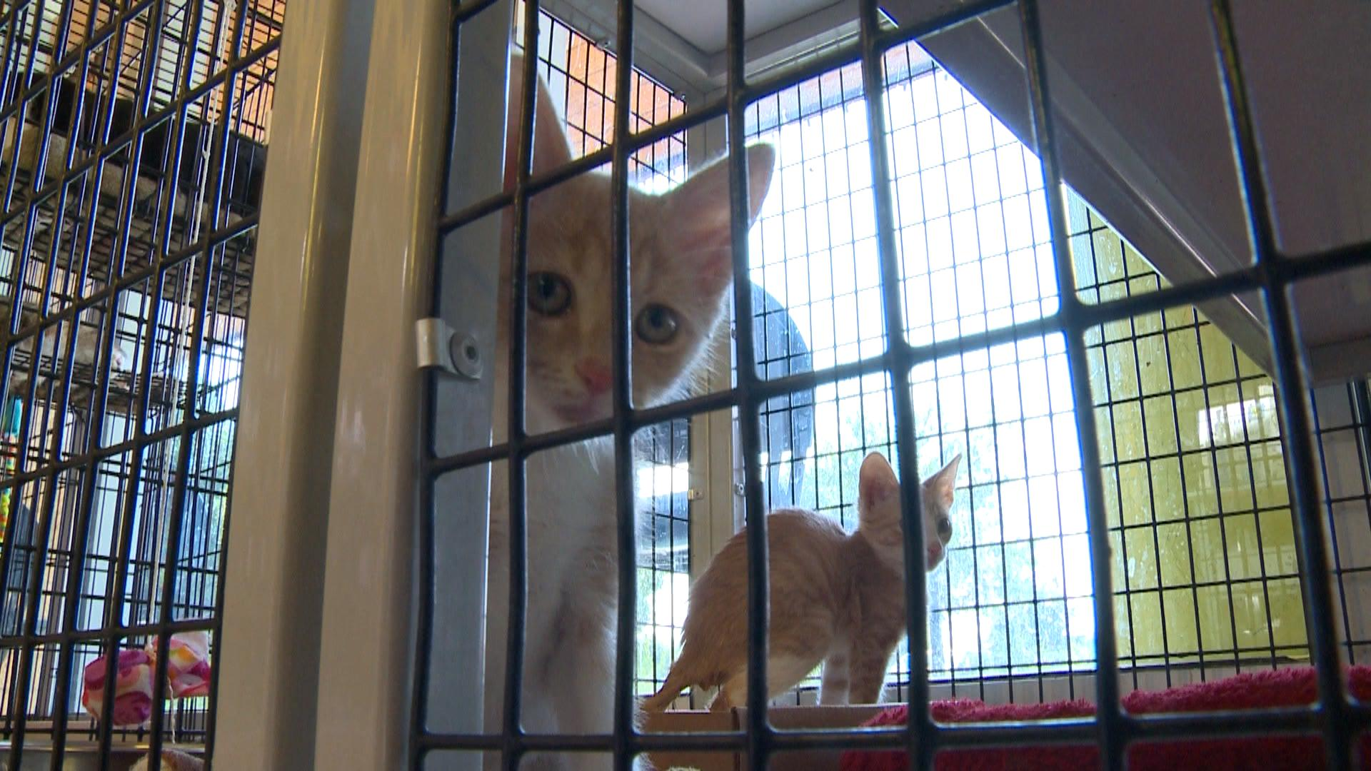 Cats at Williamson County Regional Animal Shelter on Aug. 10, 2017. (KXAN Photo_Lauren Kravets)_523522