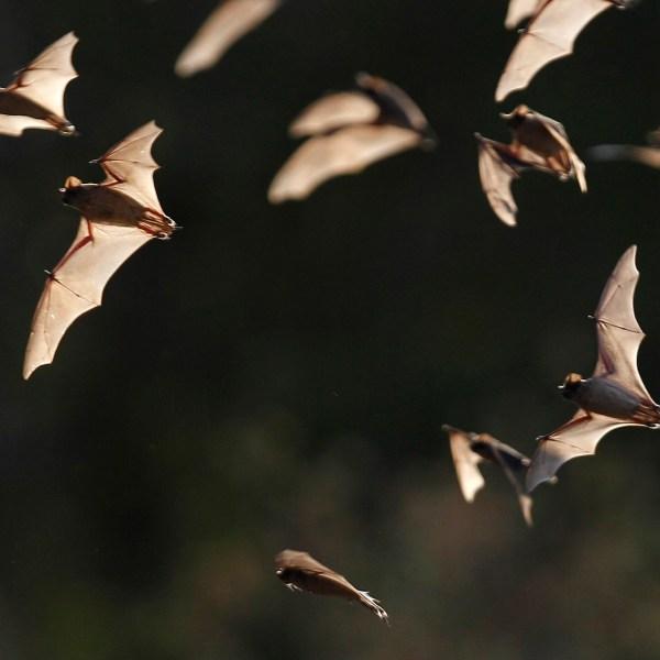 Texas Drought Bats_441586