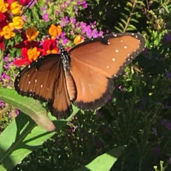 Monarch Butterflies_570867