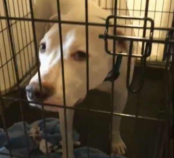 Dog brought to Austin Pets Alive! in Hurricane Harvey aftermath_535888