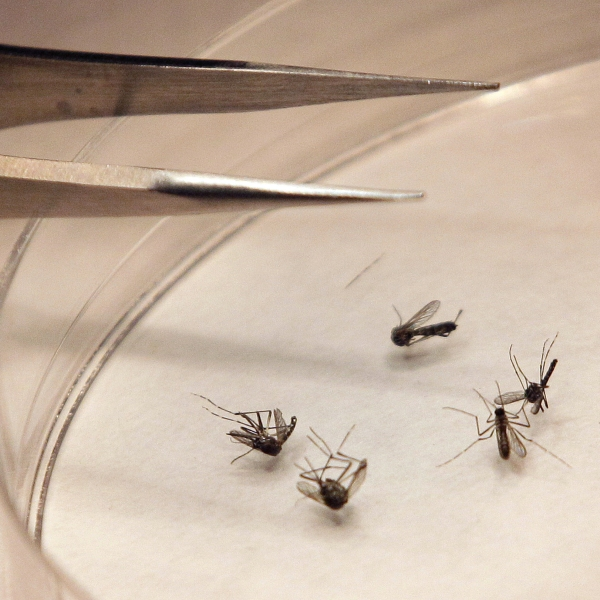 West Nile Mosquitoes_354190