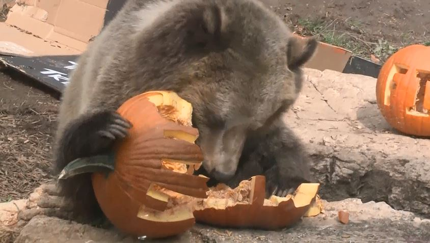 bear halloween pumpkin_572974