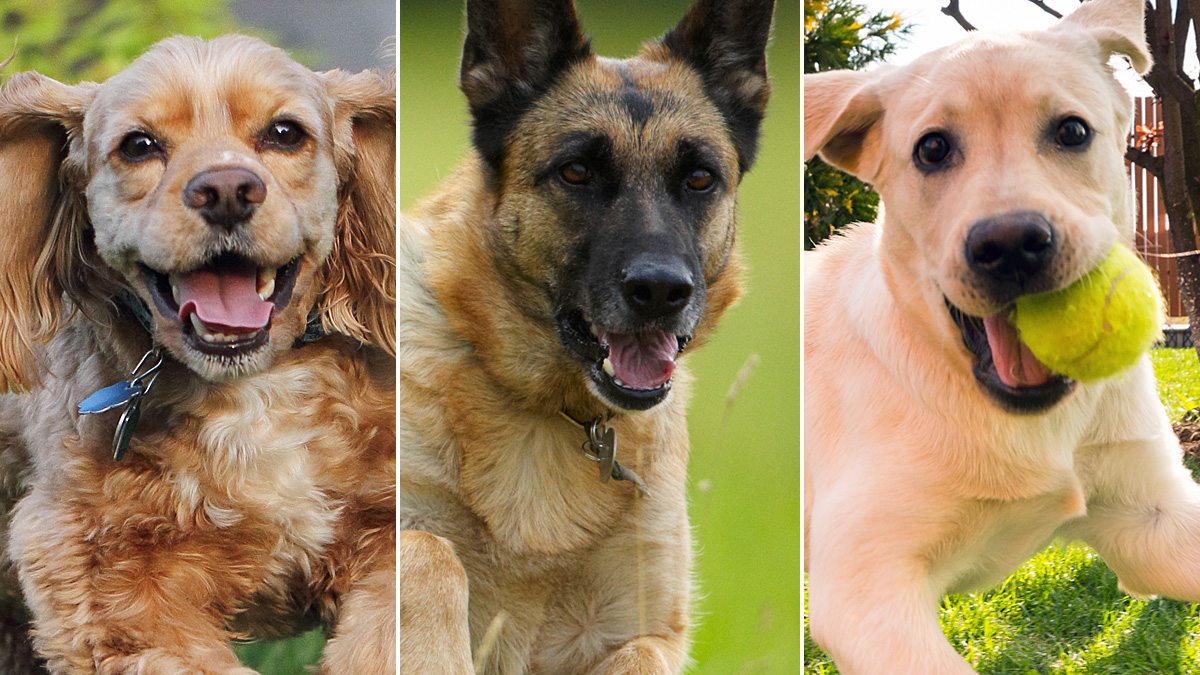 dog-breed-quiz-thumb_497496