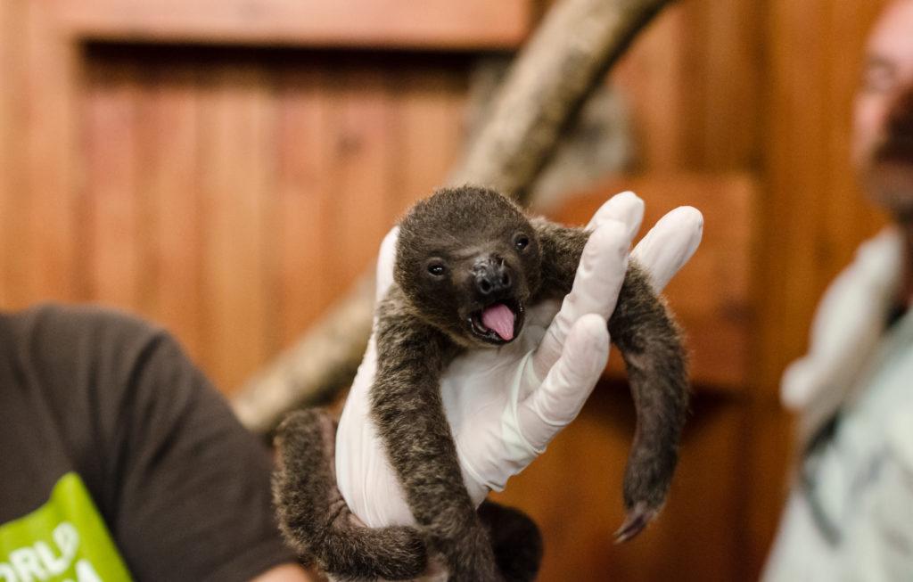 Baby sloth at Animal World and Snake Farm Zoo_589836