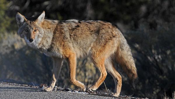 coyote_601973