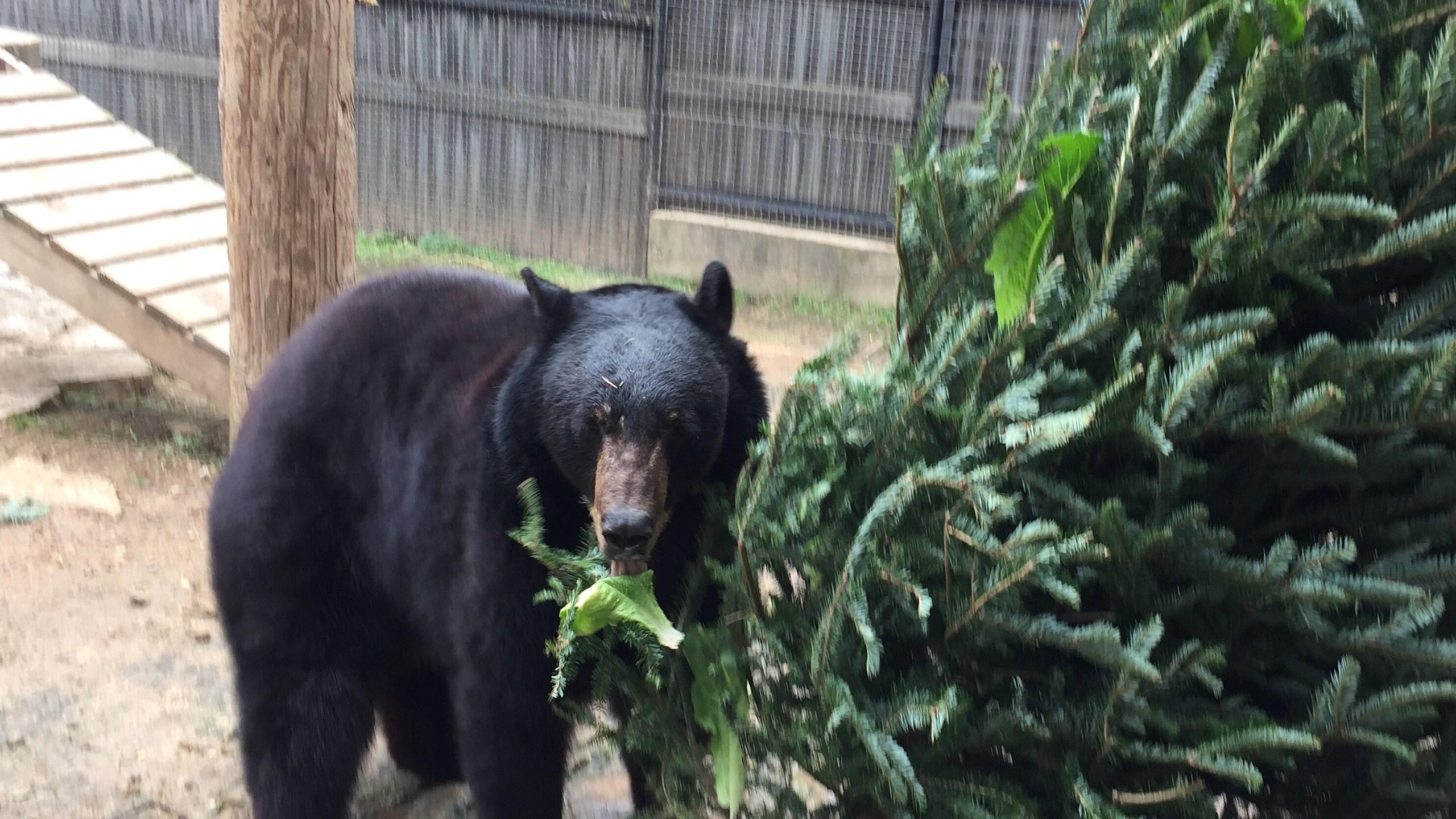 bear austin zoo christmas tree_606677