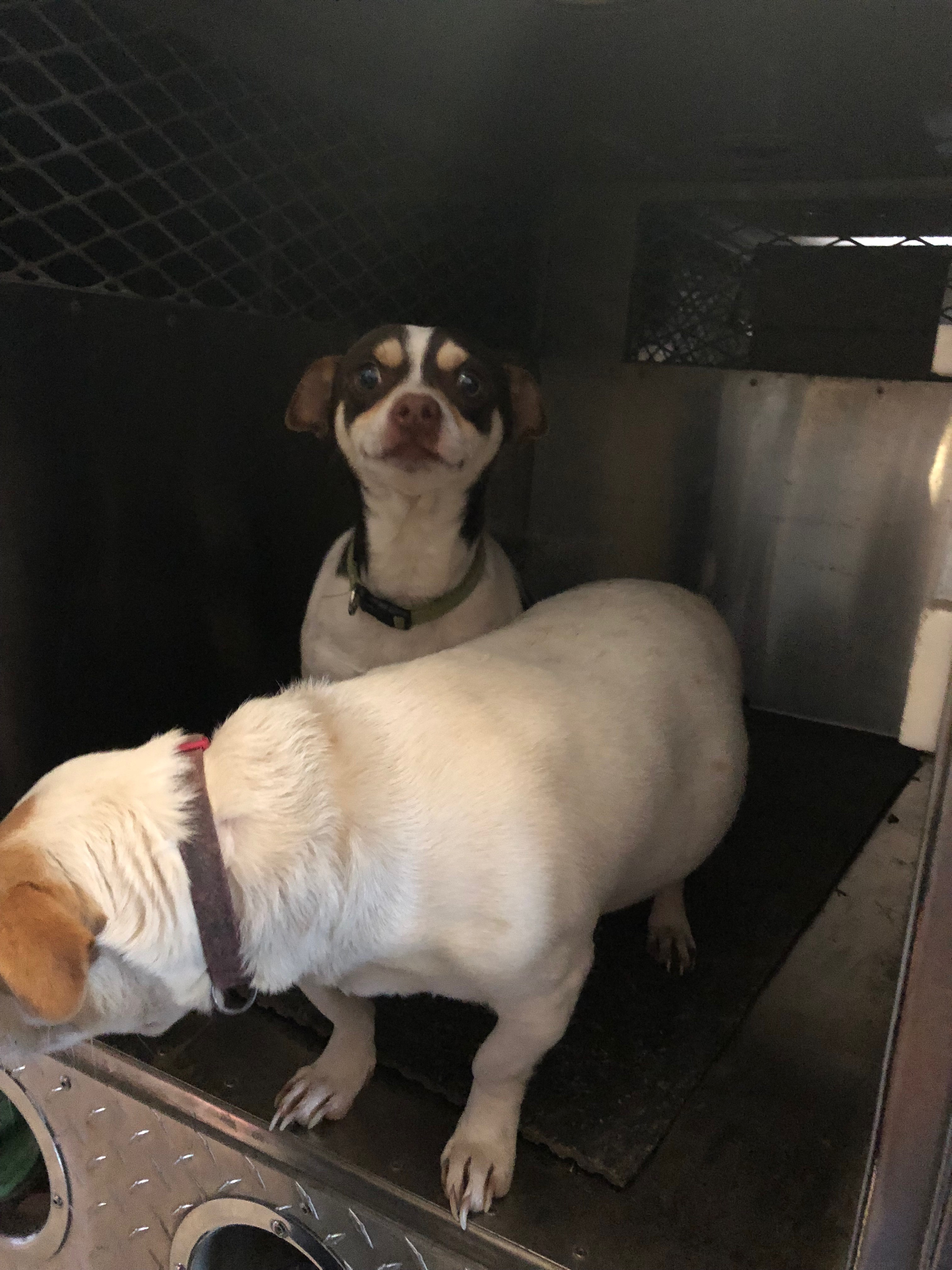 Bruno (in the background) was one of the dogs surrendered by the San Marcos homeowner. (City of San Marcos)