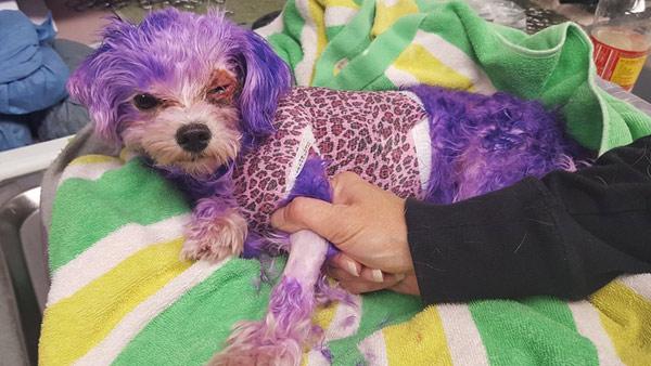 Violet injured by purple hair dye (Photo via WFLA)_621860