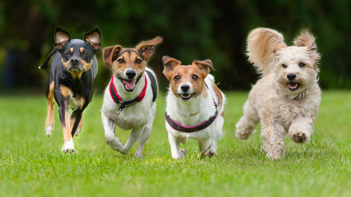 4 Little dogs running in a row._497474