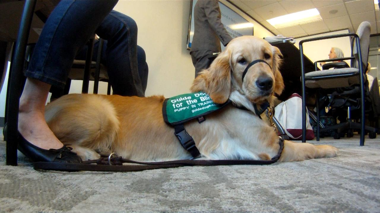 Leia, a golden retriever puppy training to become a guide dog for the blind, attends a workshop for lawyers about service animal laws on Feb. 12, 2018. (Nexstar Photo/Wes Rapaport)