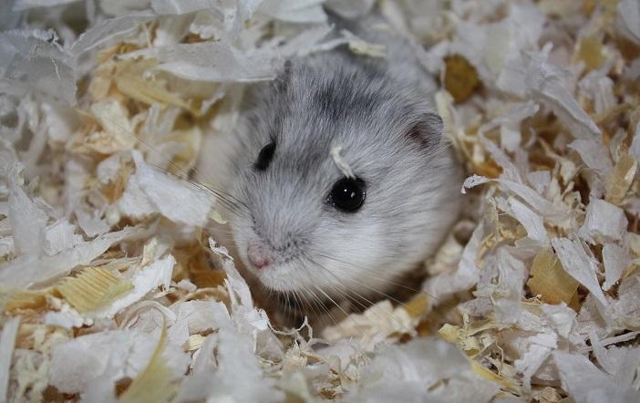 hamster_631774
