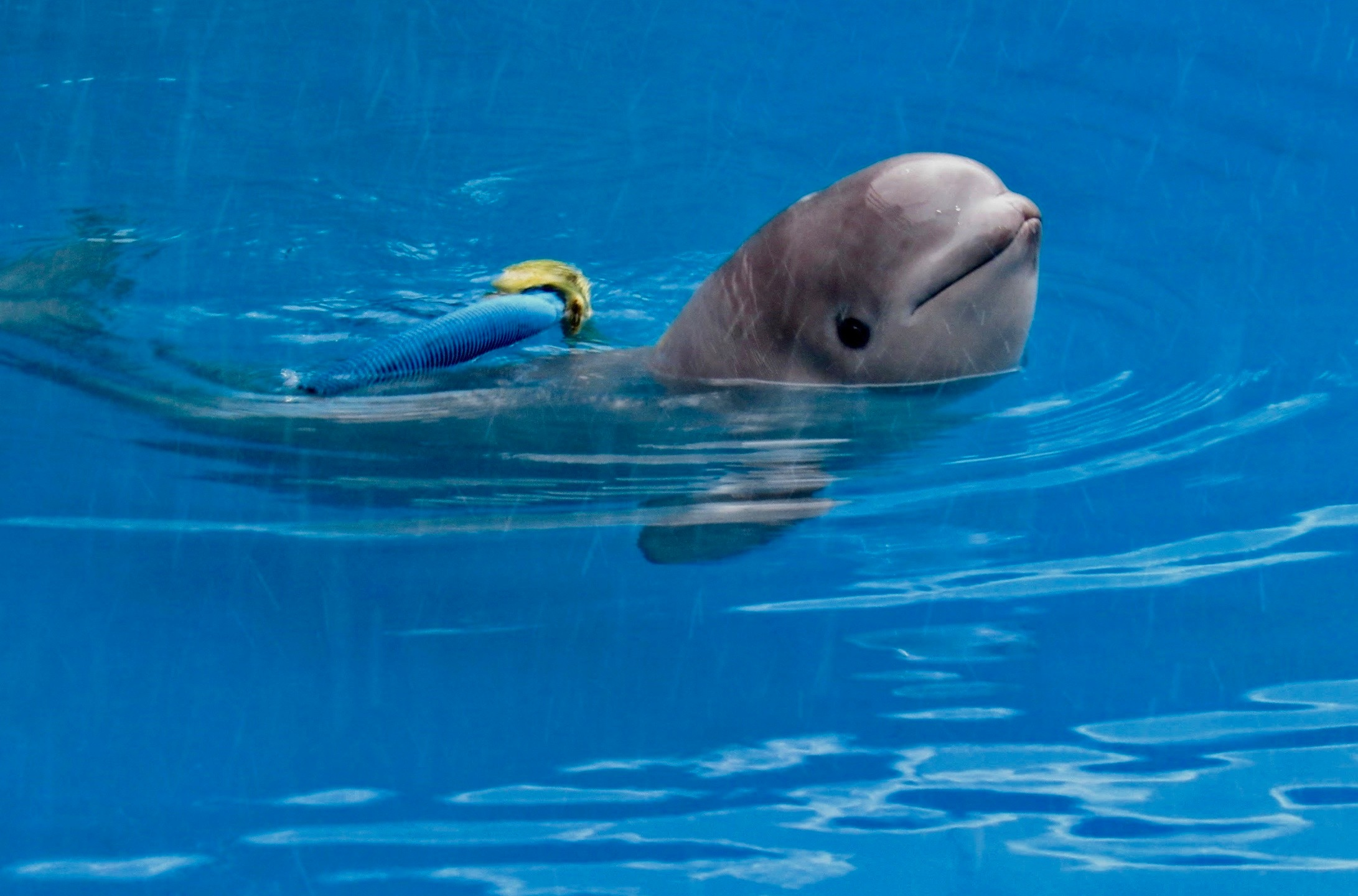 tyonek beluga whale4_634483