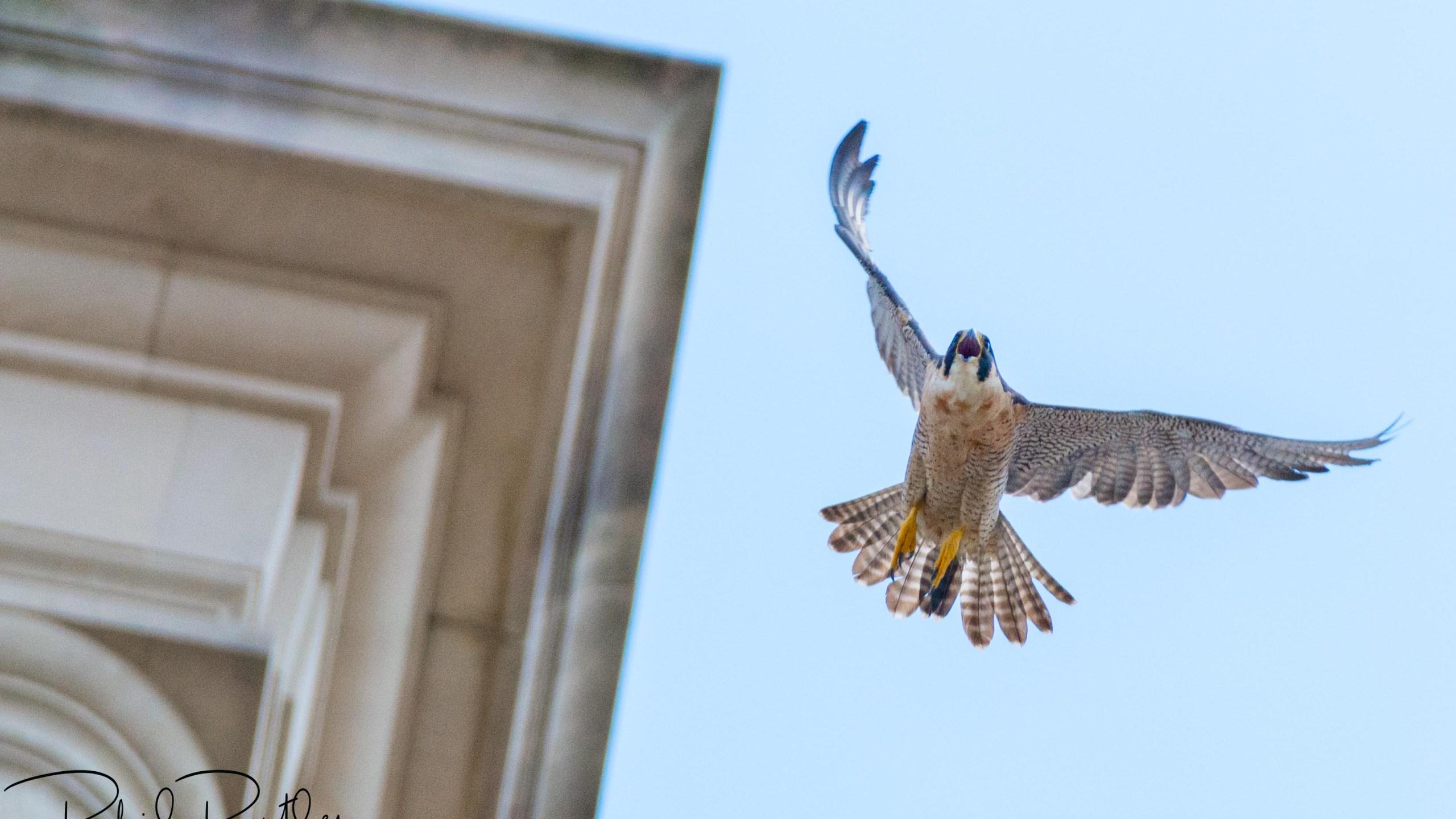 ut falcon - Phil Butler3_636273