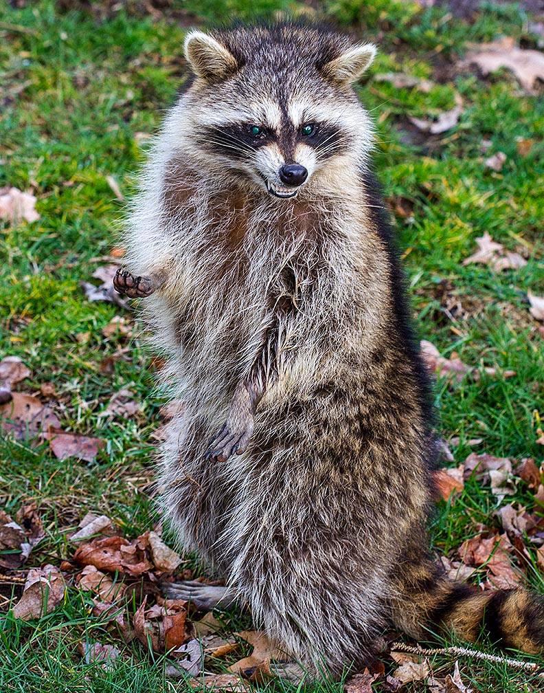 coggeshall-raccoon-00028_1522751326318.jpg