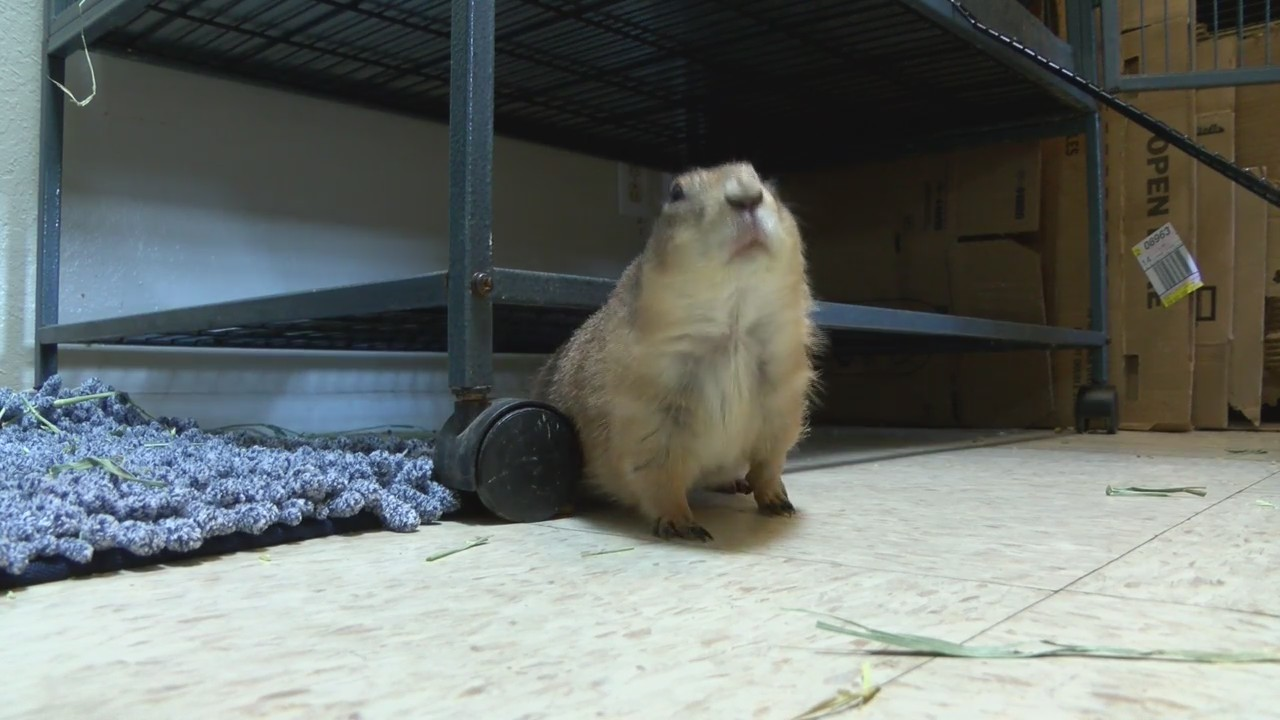 Local_Woman_Rescues_Pet_Prairie_Dogs_0_20180516233542-54787063