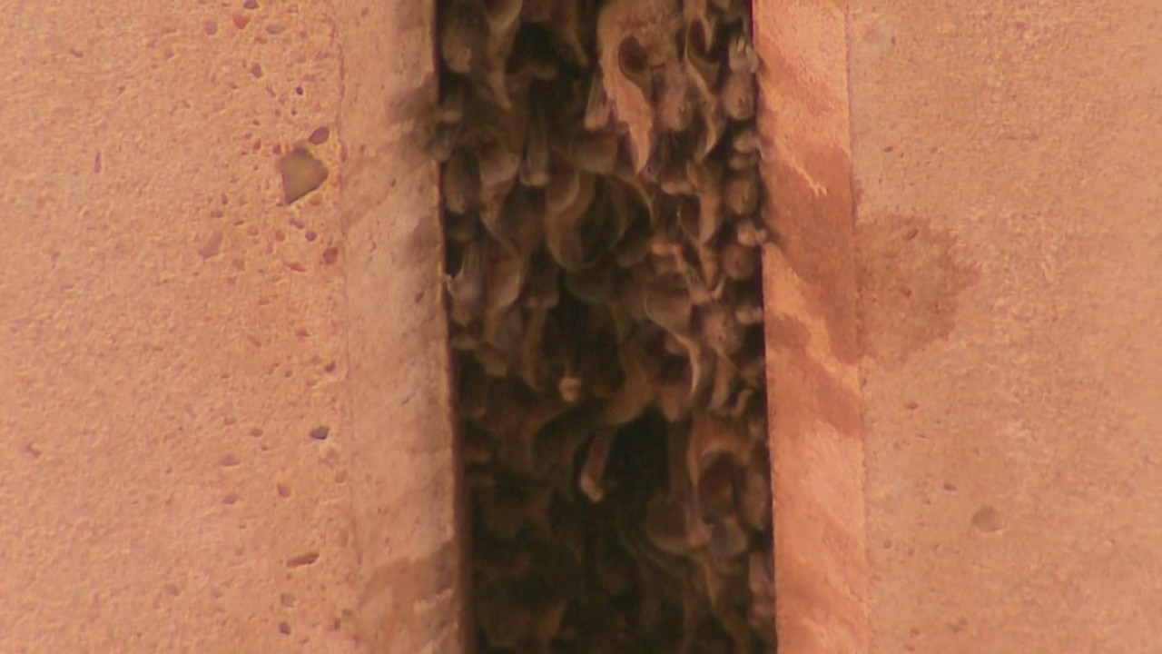 McNeil bat colony still going strong despite construction around