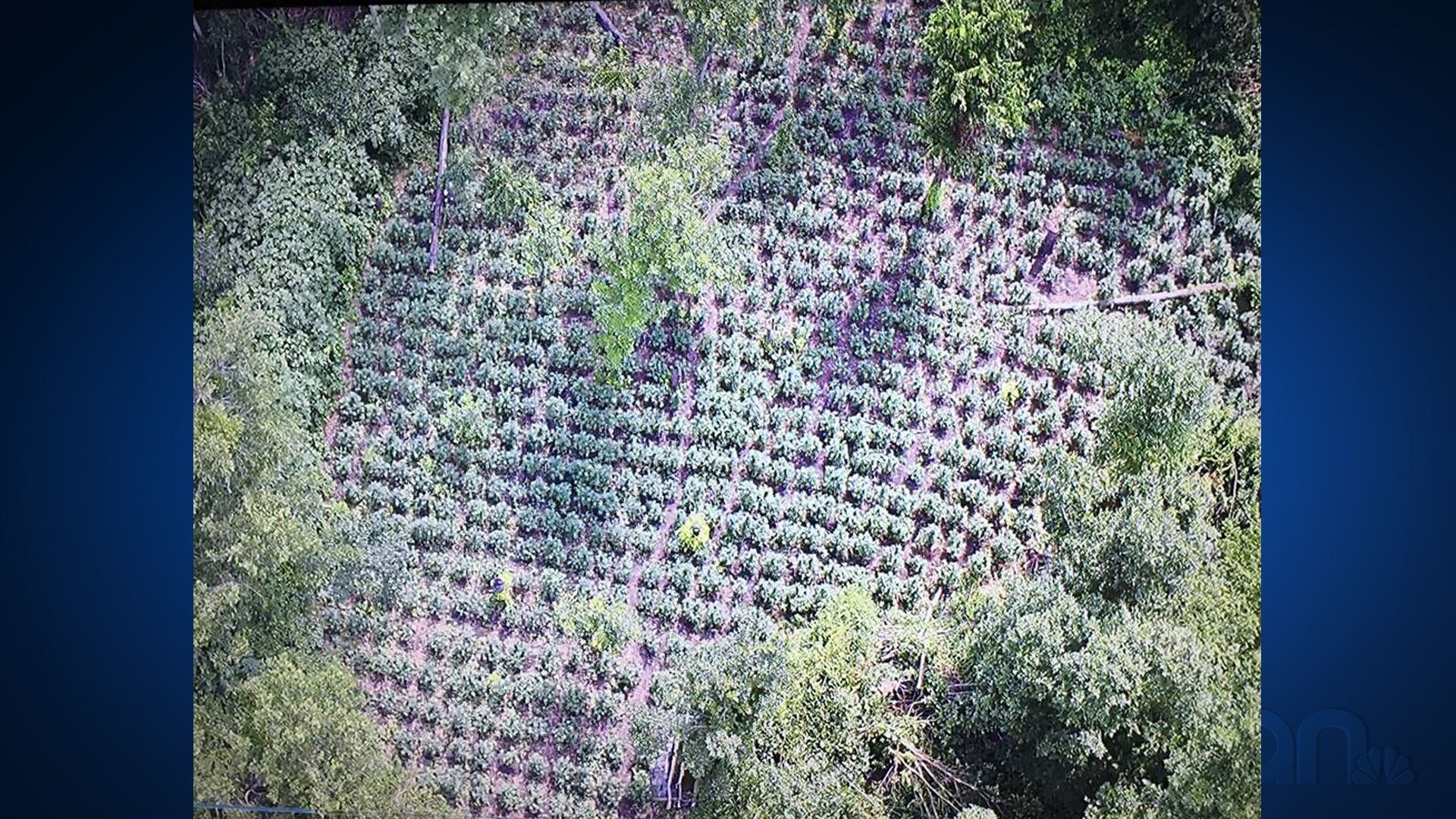 Large marijuana grow operation in Navarro County, Texas
