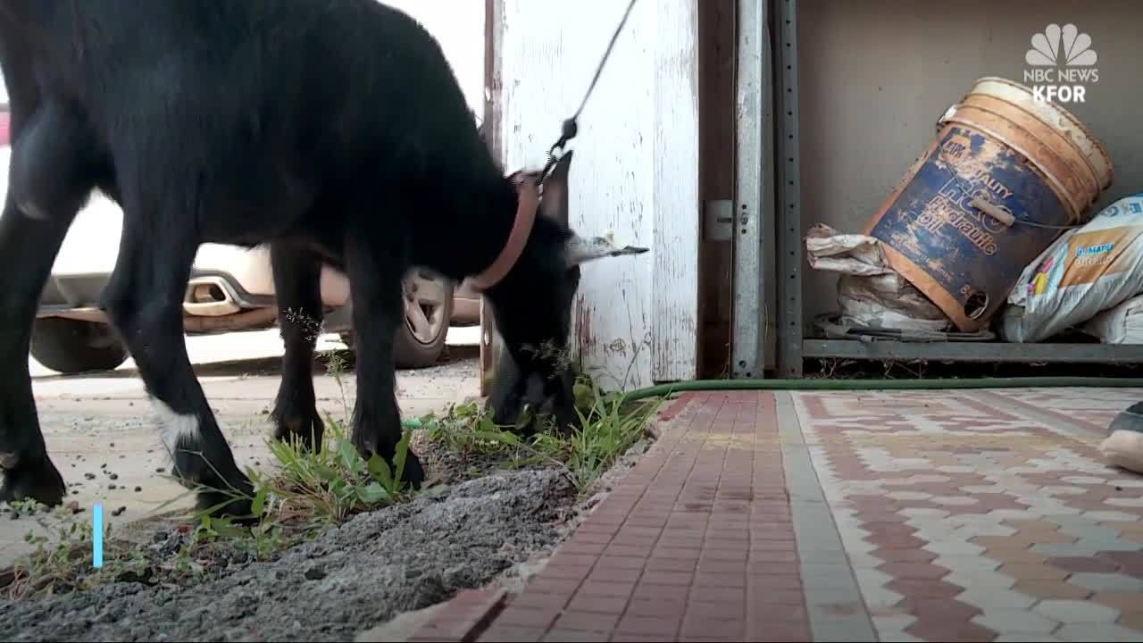 """Mischevious goat put on """"house arrest"""" by Oklahoma police"""