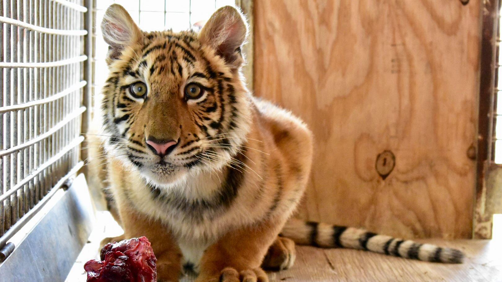 kenobi tiger 2_1532704649662.jpg.jpg