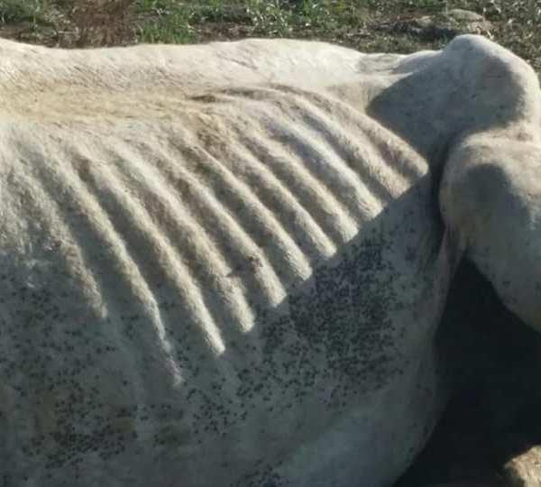 Malnourished horse up close