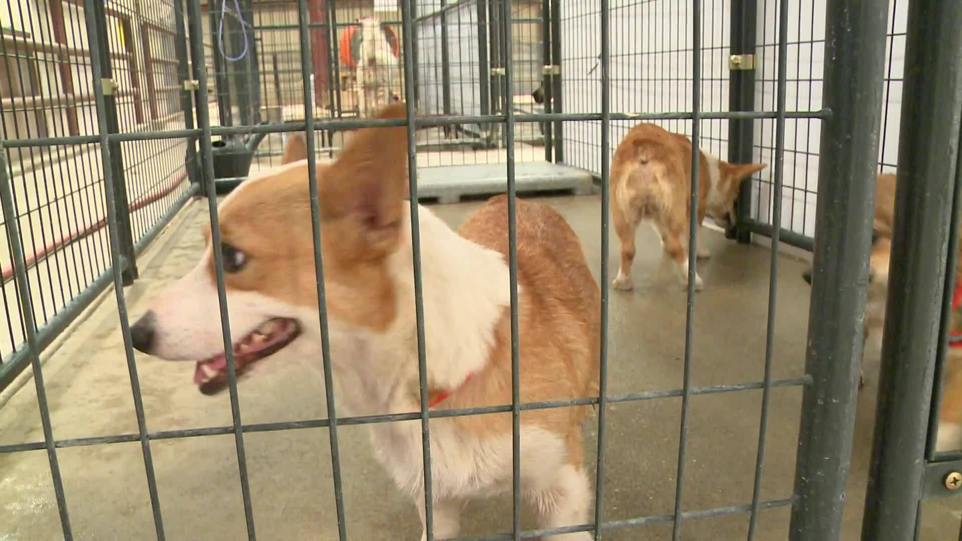 The five Pembroke Welsh Corgis were brought in from an animal cruelty case.