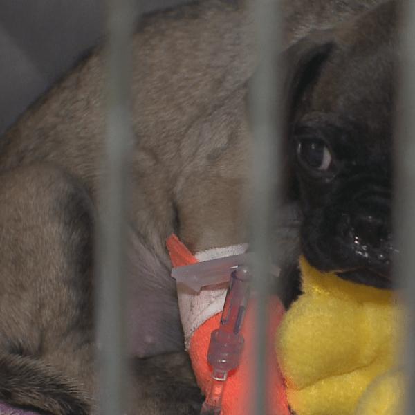 Parvo Puppy ICU_- Austin Pets Alive
