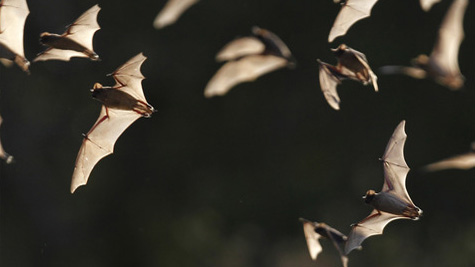 Bats File Photo