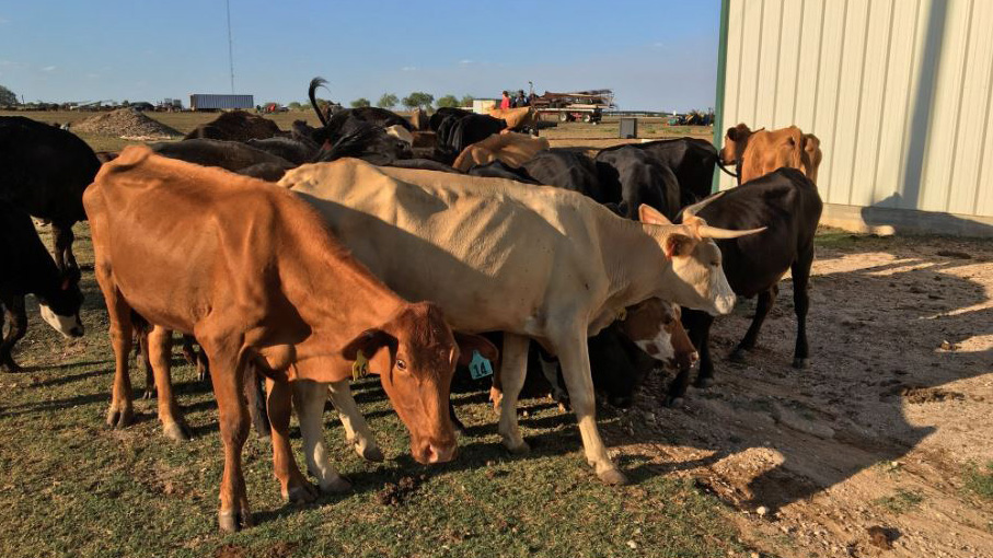 Emaciated cows found on a property near Liberty Hill, Texas
