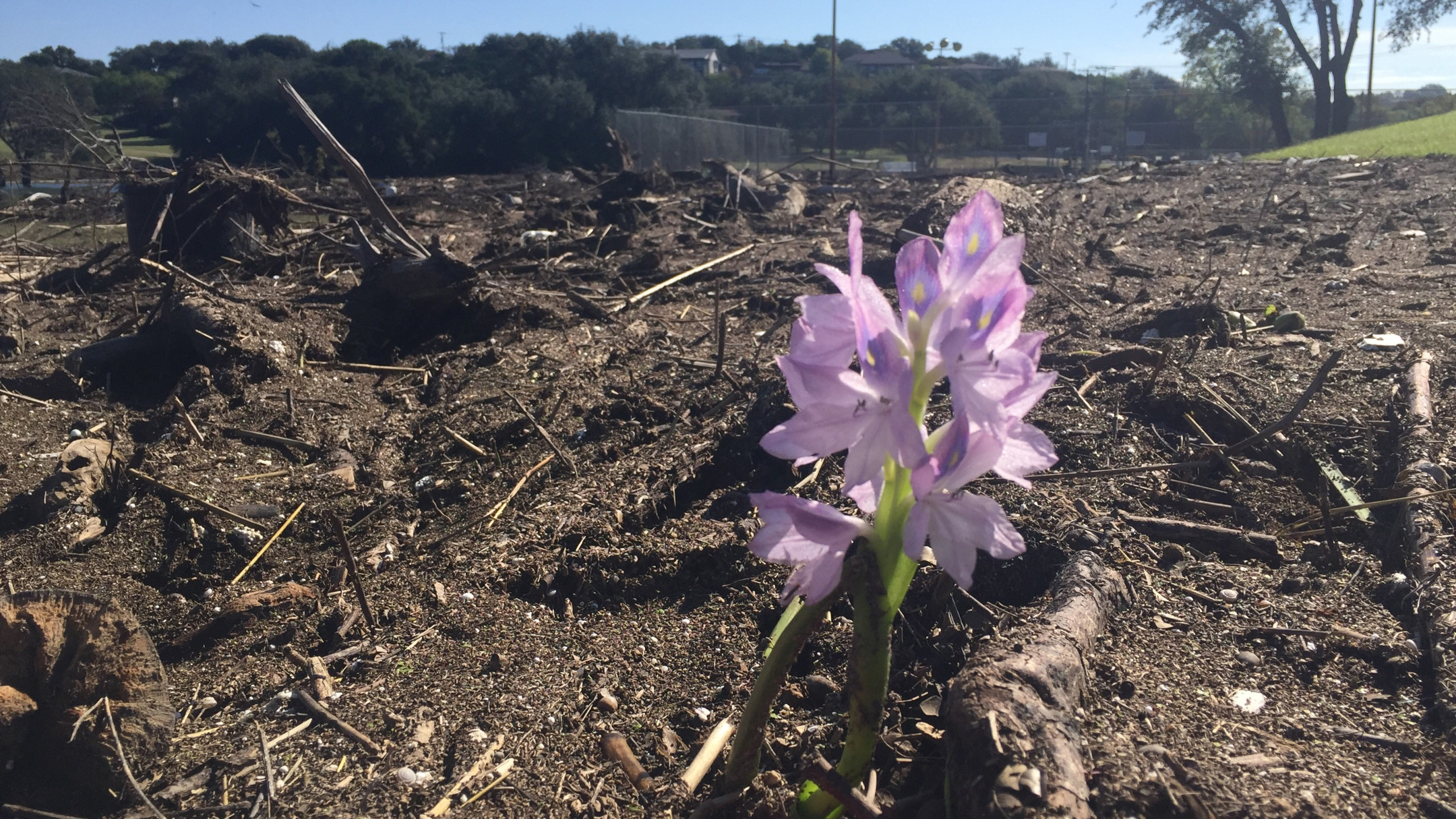 Flower emerges from flooding debris at the Lago Vista Golf Club on Oct. 26, 2018