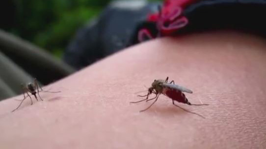 Mosquitoes on arm