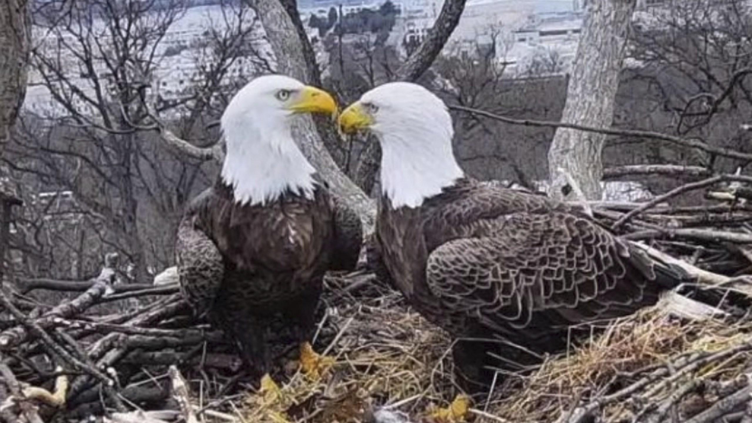 Eagles in love