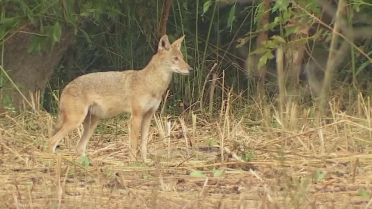 Security video captures coyotes in man's backyard