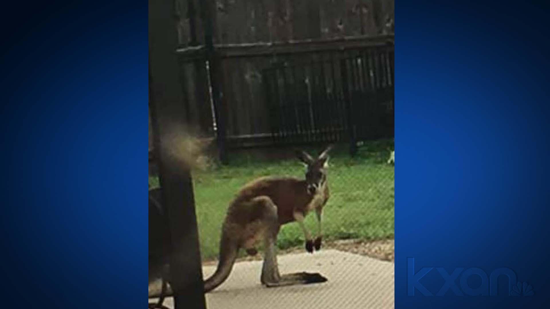 kangaroo in hays county 2_1556143228014.jpg.jpg