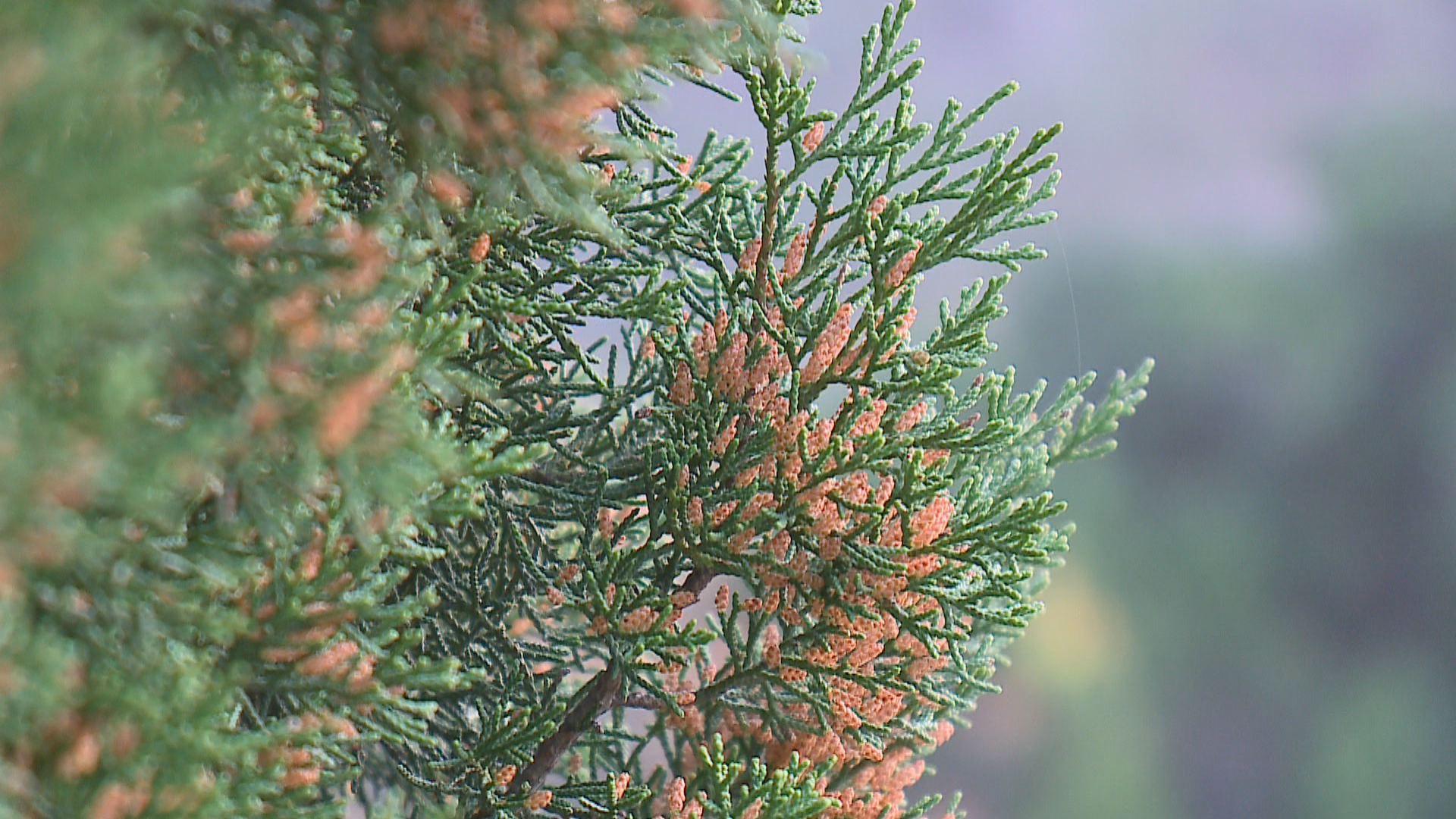 New therapy to treat cedar allergies coming soon